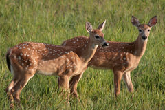 Twin Fawns. Twin white-tail deer fawns Royalty Free Stock Photo