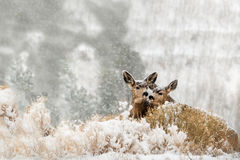 Twin fawns hiding in snow scene Stock Images