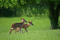 Twin fawns,looking for mom 2. Hours old twin fawns,on wobbly legs,looking for their mother & food Stock Images