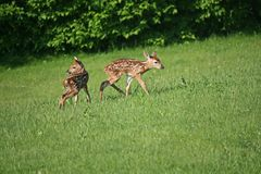 Twin fawns,looking for mother. Hours old twin fawns,on wobbly legs,looking for their mother & food Stock Photography