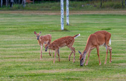 Twin Fawns with Mother. Mother white tail deer grazes with her two fawns Stock Photos