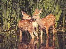 Twin fawns nuzzling each other in a pond surrounded by reeds at royalty free stock photos