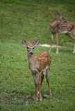 Twin fawns Stock Photography