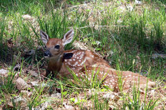 Twin Fawns Resting. Two newborn White-tailed deer fawns rest peacefully on the sun-dappled forest floor Stock Image