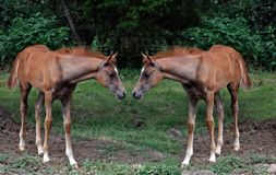 Twin foals Royalty Free Stock Photo