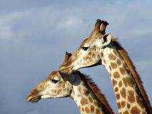 Twin giraffe. Another photo of that sparring match Stock Image