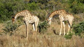 Twin giraffes Stock Photography