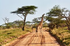 Twin giraffes in Tanzania Serengetti park with yellow grass and sunset. And birds stock images