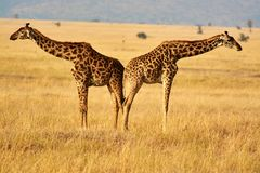 Twin giraffes in Tanzania Serengetti park with yellow grass and sunset. And birds stock photos