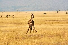 Twin giraffes in Tanzania Serengetti park with yellow grass and sunset. And birds stock photo
