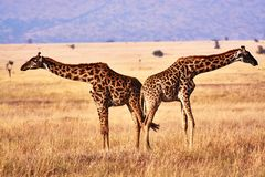 Twin giraffes in Tanzania Serengetti park with yellow grass and sunset. And birds royalty free stock photos