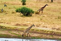 Twin giraffes in Tanzania Serengetti park with yellow grass and sunset. And birds stock photography