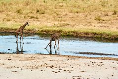 Twin giraffes in Tanzania Serengetti park with yellow grass and sunset. And birds royalty free stock photography