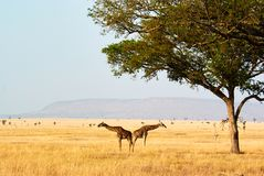 Twin giraffes in Tanzania Serengetti park with yellow grass and royalty free stock photo