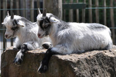 Twin goats Royalty Free Stock Photos