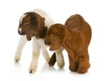 Twin goats Stock Photo