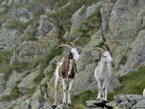 Twin goats in the mountains. Pair of male goats with horn showing their pride stock photos