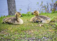Twin Goslings royalty free stock photography