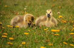 Twin Goslings Royalty Free Stock Image