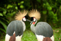 Twin Grey Crowned crane . Stock Photo