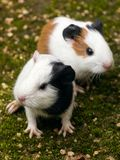 Twin guinea pigs stock photography