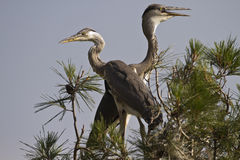 Twin Herons. Two grey herons on top of a tree Stock Photo