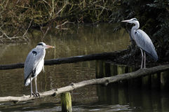 Twin Herons Stock Photography
