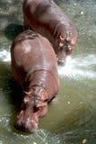 Twin Hippopotamus . Royalty Free Stock Photography