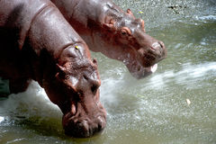 Twin Hippopotamus . Stock Photos