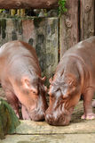 Twin hippopotamus Stock Image