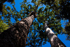 Twin Kauri pines (Agathis robusta) Royalty Free Stock Photography