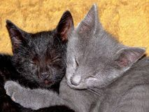 Twin kittens (cats). Twin cats sleeping in each others arms Royalty Free Stock Photos