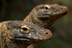 Twin komodo dragon. With background blur Royalty Free Stock Image