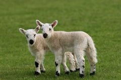 Twin Lambs Royalty Free Stock Photo
