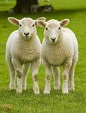 Twin lambs Stock Photography