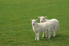 Twin Lambs Stock Image