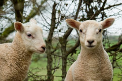 Twin lambs. A close up image of two young spring twin lambs one looking ahead and the other to the side stock photography
