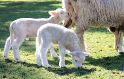 Twin Lambs Royalty Free Stock Photography
