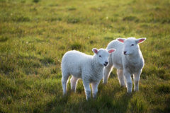 Twin Lambs consult lovingly in the late evening light Stock Photo