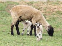 Twin lambs with ewe Stock Photography