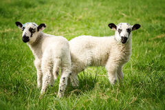 Twin lambs Stock Images