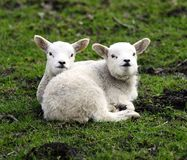 Twin lambs having a cuddle. New spring twin lambs enjoying the sunshine Royalty Free Stock Images