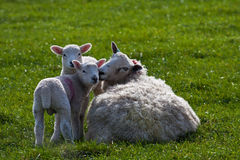 Twin Lambs and mother. New born Lambs in a field with their mothers North Wales UK Stock Photos