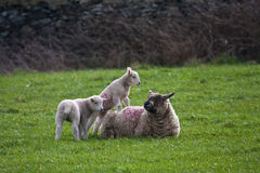 Twin Lambs and mother. New born Lambs in a field with their mothers North Wales UK Stock Images