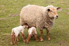 Twin lambs with mother sheep Royalty Free Stock Photography