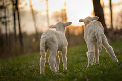 Twin Lambs in Pasture Stock Images
