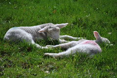 Twin lambs resting Stock Photo