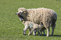 Twin Lambs suckling their mother Stock Photography