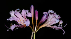 Twin lily flower Stock Photography