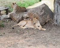 Twin Lion Stock Photography